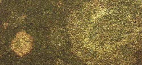 La muffa grigia/muffa rosa invernale (Microdochium nivalis)