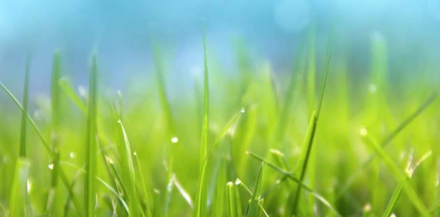La ripresa vegetativa del tappeto erboso