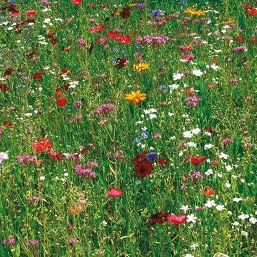 Blue Honey Flowers: miscela da tappeti erbosi tecnica, forma un inerbimento persistente e compatto,