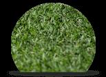 Bermudagrass Tempoverde